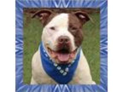 Adopt Willie a American Staffordshire Terrier / Mixed dog in Raleigh