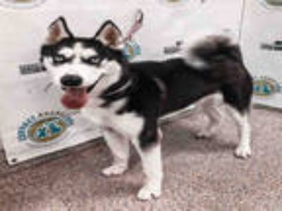 Adopt STEEL a White - with Black Husky / Mixed dog in Doral, FL (25573105)
