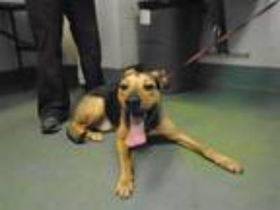 Adopt Aiden a Labrador Retriever / Shepherd (Unknown Type) / Mixed dog in