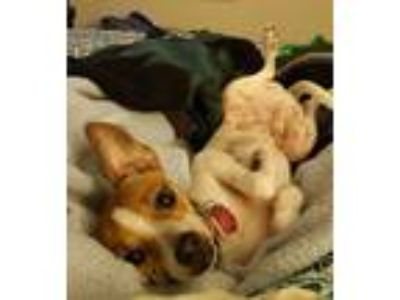 Adopt Leon a White - with Red, Golden, Orange or Chestnut Rat Terrier / Mixed