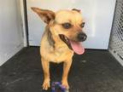Adopt PACO a Rat Terrier, Mixed Breed