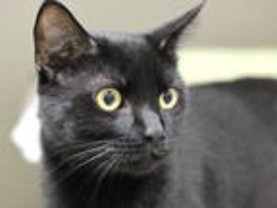 Adopt JEWELS a All Black Domestic Shorthair / Mixed (short coat) cat in Boston