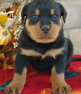 Broad-minded Rottweiler Puppies
