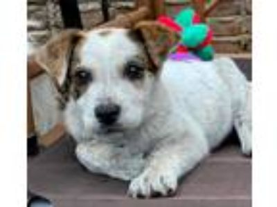 Adopt TUCKER a Tricolor (Tan/Brown & Black & White) Cattle Dog / Australian