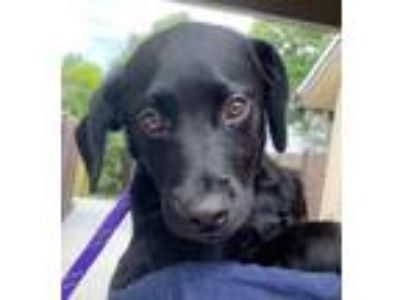 Adopt Amos a Labrador Retriever, Mixed Breed
