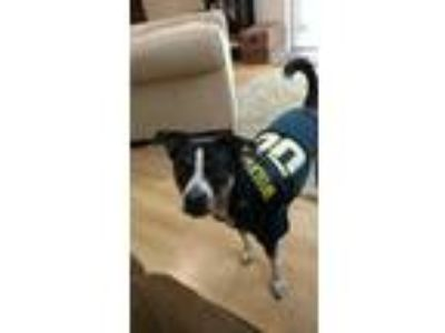 Adopt Zoe a Black - with White Jack Russell Terrier / Border Collie dog in Grand