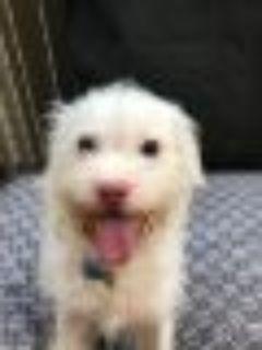 Opal Maltese - Poodle Dog