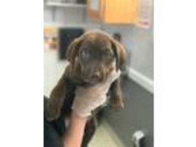 Adopt Cindy a Brown/Chocolate - with White Labrador Retriever / Mixed dog in St.