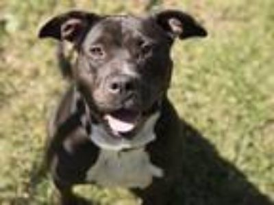 Adopt JETTA a Pit Bull Terrier, Mixed Breed