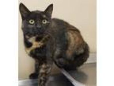 Adopt Dahlia a Domestic Shorthair / Mixed cat in Spokane Valley, WA (25326948)