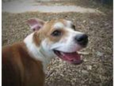 Adopt KHLOE a Tan/Yellow/Fawn American Staffordshire Terrier / Mixed dog in Mt.