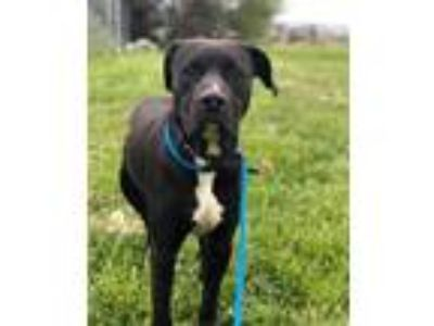 Adopt Casper a Bullmastiff / Great Dane / Mixed dog in Cleveland, TN (25575157)