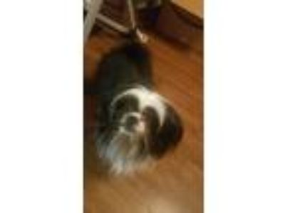 Adopt Oz or Ozzy a Black - with White Shih Tzu / Pomeranian / Mixed dog in