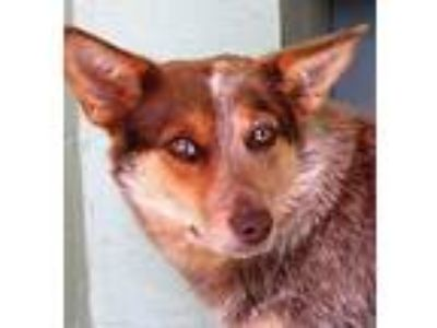 Adopt Ruby a Merle Australian Cattle Dog / Mixed dog in Germantown