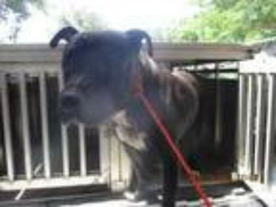 Adopt 42022839 a Black American Pit Bull Terrier / Mixed dog in Greenville