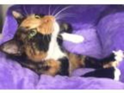 Adopt Candi a Calico, Domestic Short Hair