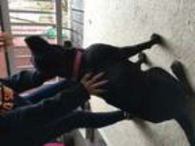 Adopt Kelsey a Black Labrador Retriever / American Pit Bull Terrier / Mixed dog