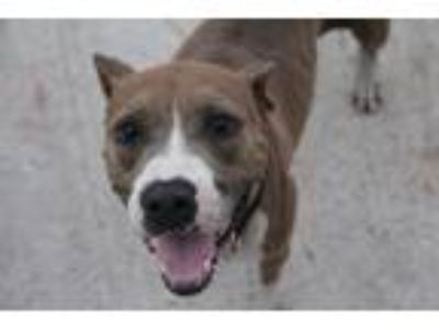 Adopt Venus a Brown/Chocolate - with White Pit Bull Terrier / American Pit Bull