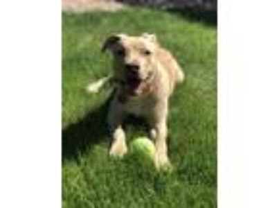 Adopt Cissy a Yellow Labrador Retriever, Golden Retriever