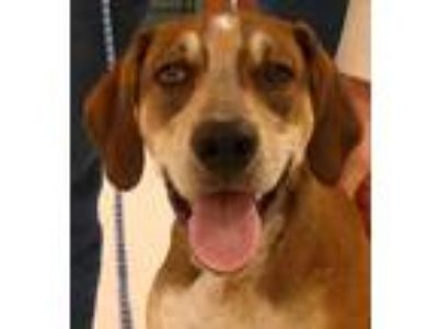 Adopt Copper a Tan/Yellow/Fawn - with White Hound (Unknown Type) / Mixed dog in