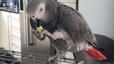 @.Hand reared Congo African grey parrot.@ (atlanta)