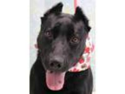 Adopt Fresca a Black Labrador Retriever / Australian Kelpie / Mixed dog in
