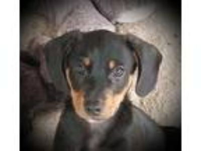 Adopt Junior B a Miniature Pinscher, Beagle