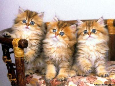 NBCVDGF M/F Persian Kittens Available