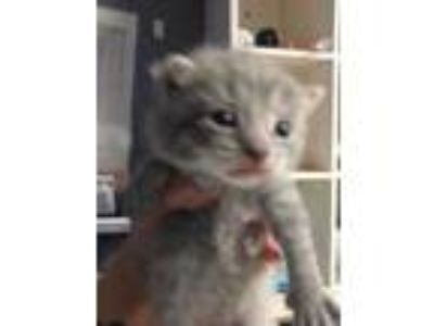 Adopt Lobo a Gray or Blue Domestic Shorthair / Domestic Shorthair / Mixed cat in