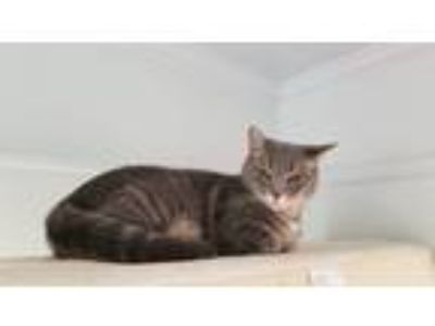 Adopt Minnie a Gray or Blue Calico / Mixed cat in Monroe, NC (21497000)