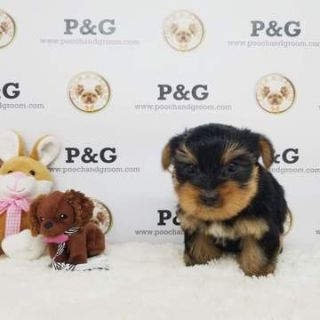 Yorkshire Terrier PUPPY FOR SALE ADN-77048 - Yorkshire Terrier  Blue Female