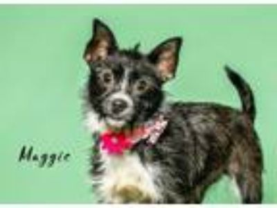 Adopt Maggie a Black - with White Terrier (Unknown Type, Medium) / Mixed dog in