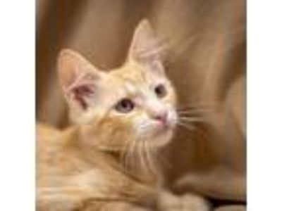 Adopt 85874 a Tan or Fawn Tabby Domestic Shorthair cat in Las Cruces