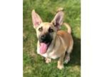 Adopt Hank a Tan/Yellow/Fawn - with Black Anatolian Shepherd / Labrador