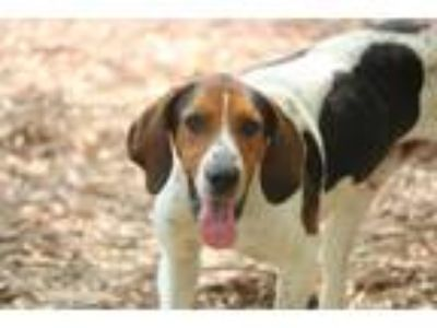 Adopt Bourbon a Treeing Walker Coonhound / Mixed dog in Chillicothe