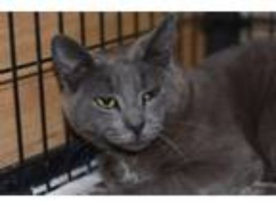 Adopt Cotton Patch a Russian Blue / Mixed (short coat) cat in Fort Worth