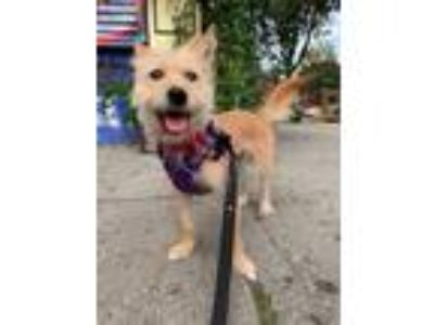Adopt Coco a Yorkshire Terrier, Terrier