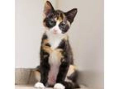 Adopt Simone a All Black Domestic Shorthair / Domestic Shorthair / Mixed cat in
