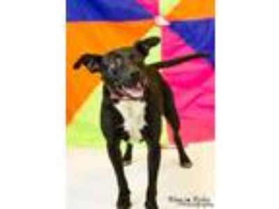 Adopt GAC#12-feb19 a Black American Pit Bull Terrier / Mixed dog in Gadsden