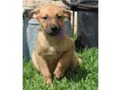 Adopt Cara a Brown/Chocolate - with Black Boxer / Labrador Retriever / Mixed dog