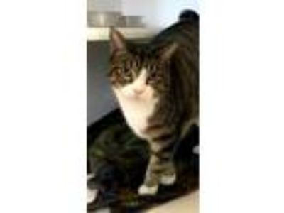 Adopt Luna a Brown Tabby Domestic Shorthair / Mixed (short coat) cat in