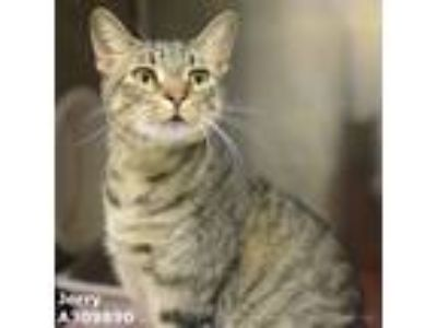 Adopt JERRY a Gray, Blue or Silver Tabby Domestic Shorthair / Mixed (short coat)