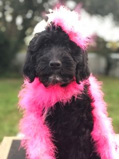 Goldendoodle-Poodle (Standard) Mix PUPPY FOR SALE ADN-106135 - Saab
