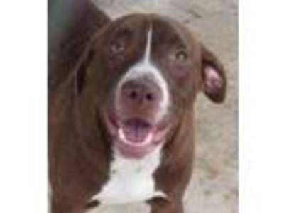 Adopt Ricky a Brown/Chocolate Labrador Retriever / Mixed dog in West Memphis