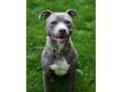 Adopt Porter a Gray/Blue/Silver/Salt & Pepper Pit Bull Terrier / Mixed dog in