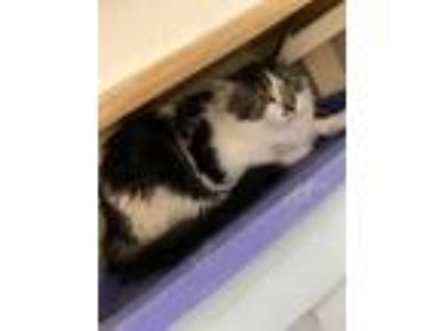 Adopt Andy a White Domestic Mediumhair / Domestic Shorthair / Mixed cat in