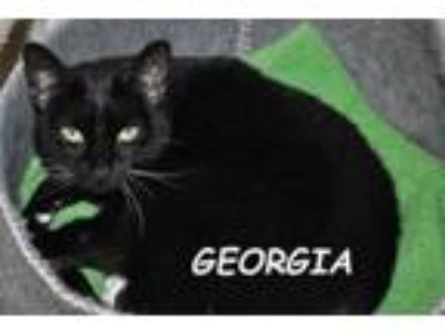 Adopt Georgia a Domestic Short Hair