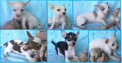 For SALE: Chihuahua puppies.