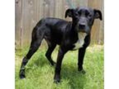 Adopt Wyatt a Labrador Retriever / Boxer / Mixed dog in Great Bend