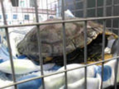 Adopt BASIL a Turtle - Water / Mixed reptile, amphibian, and/or fish in